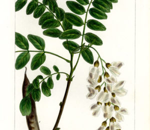Flora del Vulture: la Robinia pseudo Acacia